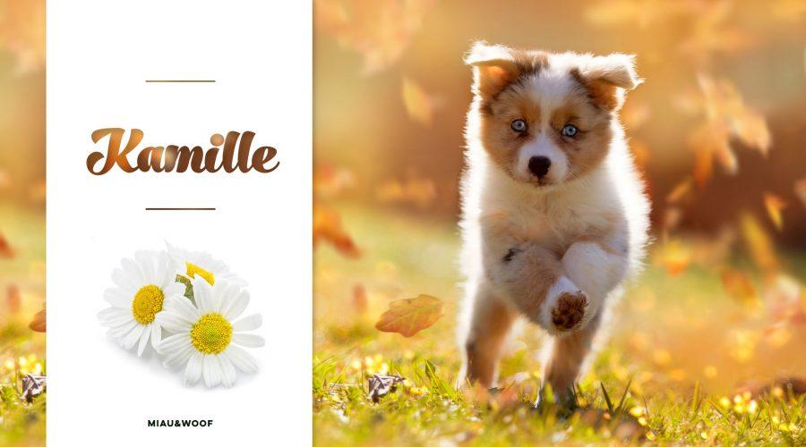 Kamille – die natürliche Pflege für Ihren Vierbeiner